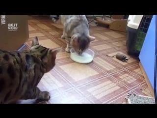 Котейки не любят делиться