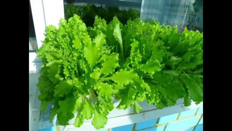 Как я выращиваю салат зимой