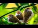 Утреннее пение птиц в лесу Звуки природы без музыки