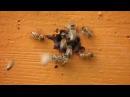 Как выводят маток породы Бакфаст на острове Тори? (Онтарио, Канада)