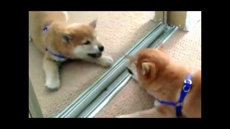 Смешные Собаки лают на себя в Зеркала Сборник HD