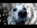 ПОЮЩАЯ СОБАКА. СОБАКА ПОДПЕВАЕТ САМА СЕБЕ / DOG SIGNS TO HIMSELF