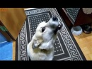 ПОЮЩАЯ СОБАКА. ЧАСТЬ 2 / SINGING THE DOG. PART 2