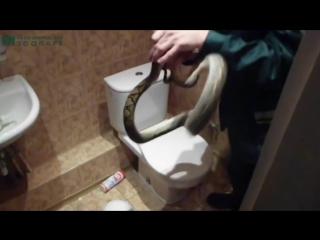 В туалет офисного центра в Калининграде забрался сетчатый питон