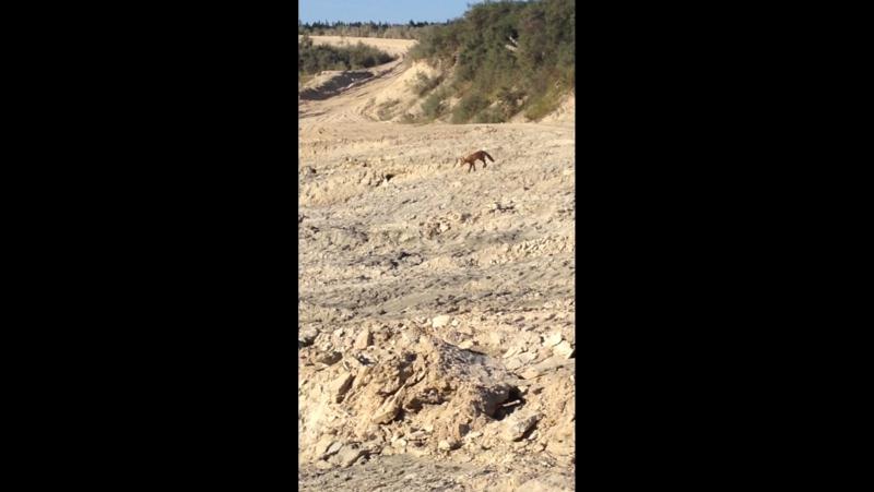 В мире животных...березовские пески...