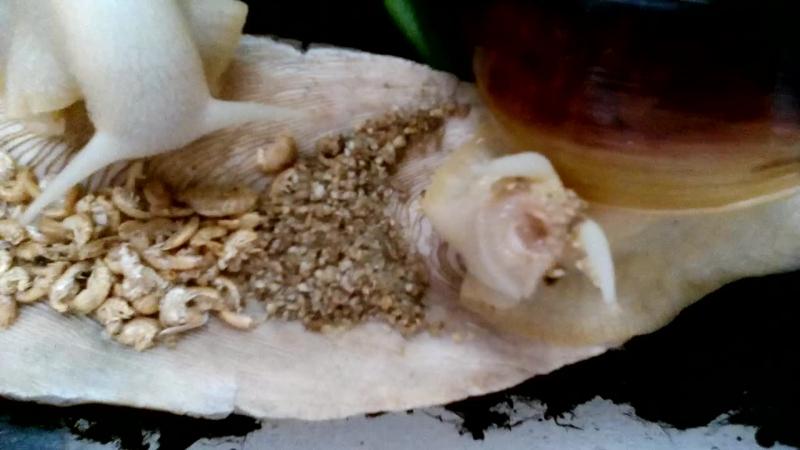 Генз ест дафнию. Рот ахатины 3