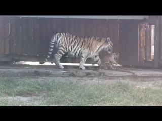Тигрица Прима впервые вывела в свет своего новорожденного малыша в Ростовском зоопарке