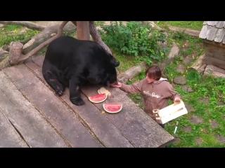 Гималайский медведь Гоша кушает арбуз