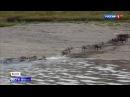 Вести 20:00 • Сезон • В Якутии считают диких оленей