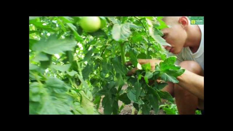 Черный томат Сашер, Биг Сашер. Промазка стеблей от серой гнили. Обрезка томатных ...