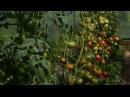 Первый сбор томатов 2017