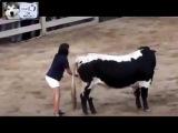 Почему бык не трогает девушку? Смотри до конца.