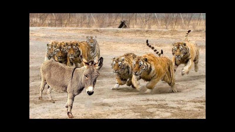 Lừa lỡ vào chuồng cọp chống chọi 4 chúa sơn lâm và cái kết - Lion vs donkey vs tiger