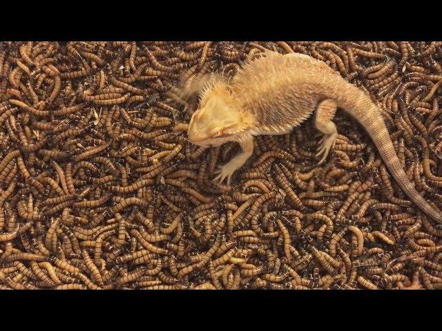Thú nuôi thú cưng bò sát rồng úc ăn 1 triệu con sâu - Bearded dragon vs supper worm