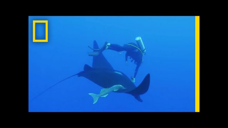 Watch: Camera Put on Giant Manta Ray for First Time Ever | National Geographic