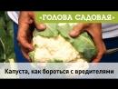 Голова садовая - Капуста, как бороться с вредителями