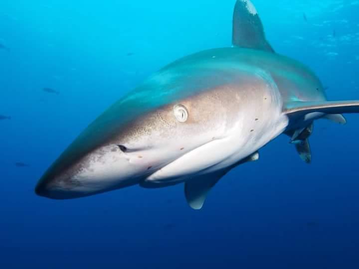 акула Додсон