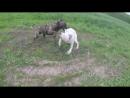 Роллик молодых собак первый бой 18 Алано Ахиллес vs Питбульдог Пандора