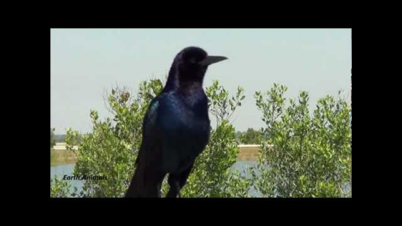 Boat-tailed Grackle Sounds Off