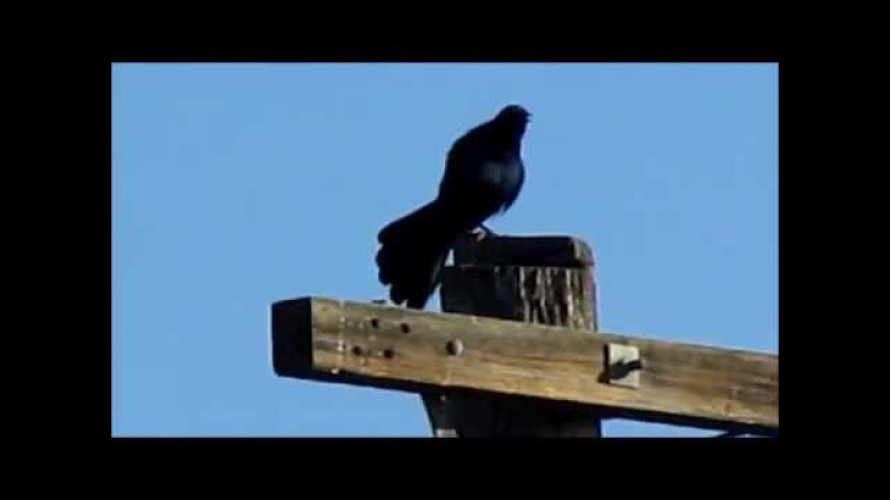 Great-tailed Grackle poo-poot song