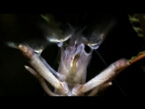 Vampire Shrimp Mouth Macro