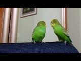 Попугаи разговаривают между собой. Два попугая говорят друг с другом