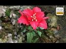 How to make amaryllis paper flower diy easy origami paper flower making tutorials