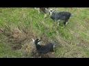 Нотя и Аринаджи; История о том как рожала моя коза