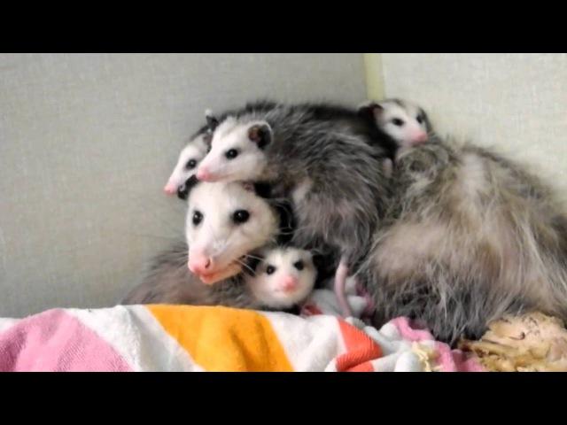 Opossum Babies getting too big for Mother Opossum Dr Kenneth Jones Animal Hospital