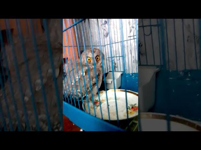 совёнок у нас дома в клетке у попугая