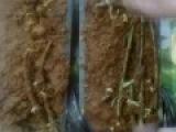 Размножение ежевики одревесневшими черенками