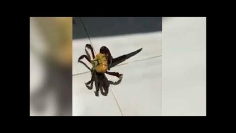 В Бразилии краб отказался без боя лезть в кастрюлю