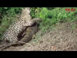 Ягуар охотится на двухметрового крокодила
