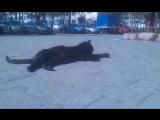 Чёрный кот с