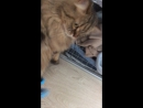 играю с кошкой и спинером