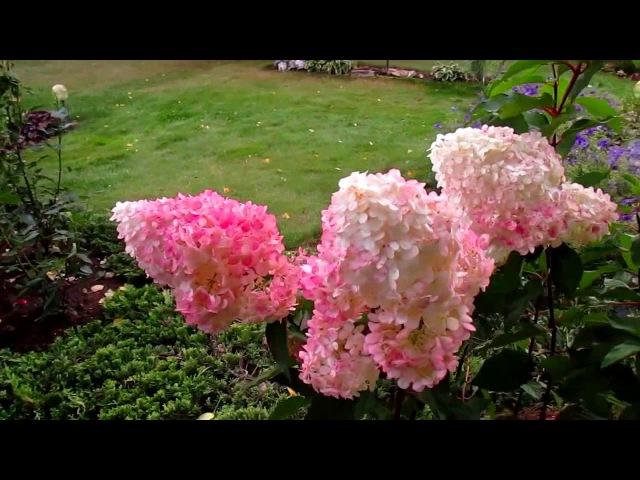 ✿➽ Гортензия метельчатая «Ванилла Фрейз» в моем саду 2016 (часть 2 )