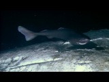 Sharks Feasting On A Whale Carcass Blue Planet BBC Earth