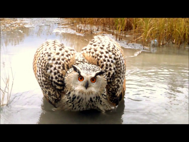 гигантская сова.суровый филин в Челябинске.Чурилово.