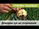 Голова садовая - Доводим лук до полного созревания