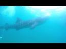 Плавание с со стаей диких китовых акул на Себу. Филиппины.