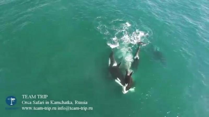 Стая касаток атакует кита на в водах близ Камчатки