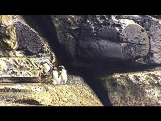 BBC Пингвины. Шпион в стае 3 серия