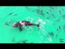 Кит, плавающий в окружении дельфинов, попал на видео в Австралии