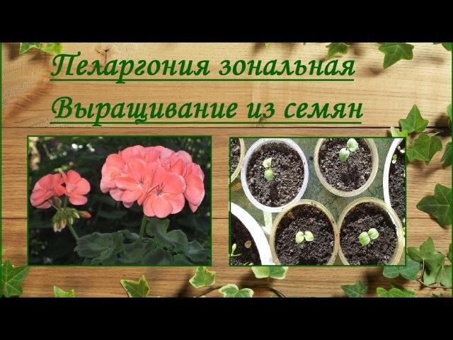 Пеларгония зональная. Выращивание из семян.