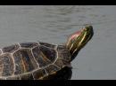 Черепахи горных озёр Крыма