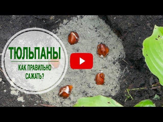 Когда и как высаживать тюльпаны ➡ Секретный способ эксперта hitsadTV