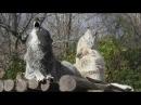 Beautiful Wolves Howl a Duet