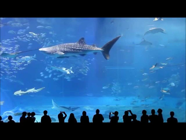 4 HOURS Kuroshio Sea Churaumi Aquarium, Okinawa, Japan , KUROSHIO SEA sound of dolfins and whales