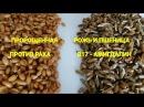 Как правильно прорастить рожь и пшеницу. Полезные советы. Читайте под видео!