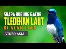 Indahnya Suara Burung Tledekan Laut Di Alam Liar